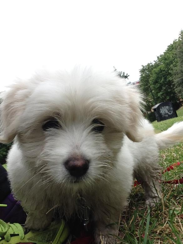 Agerade tränare och hundvakt åt sötaste Sune på jobbet idag! 9 veckor gammal.
